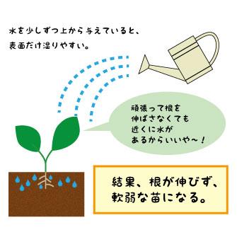 水やりで出る根の伸び方の違い1