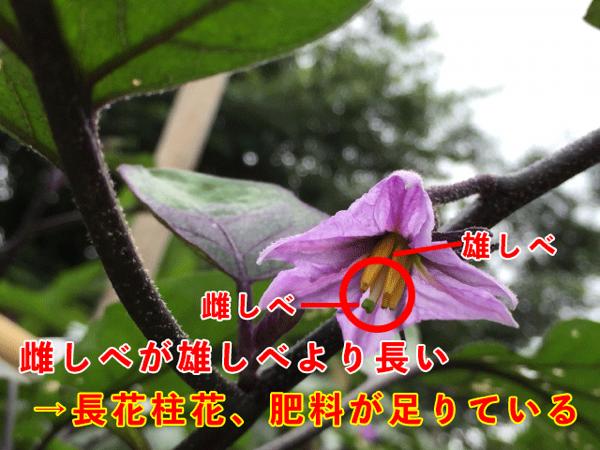 Egg plant flower1
