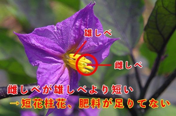 Egg plant flower2